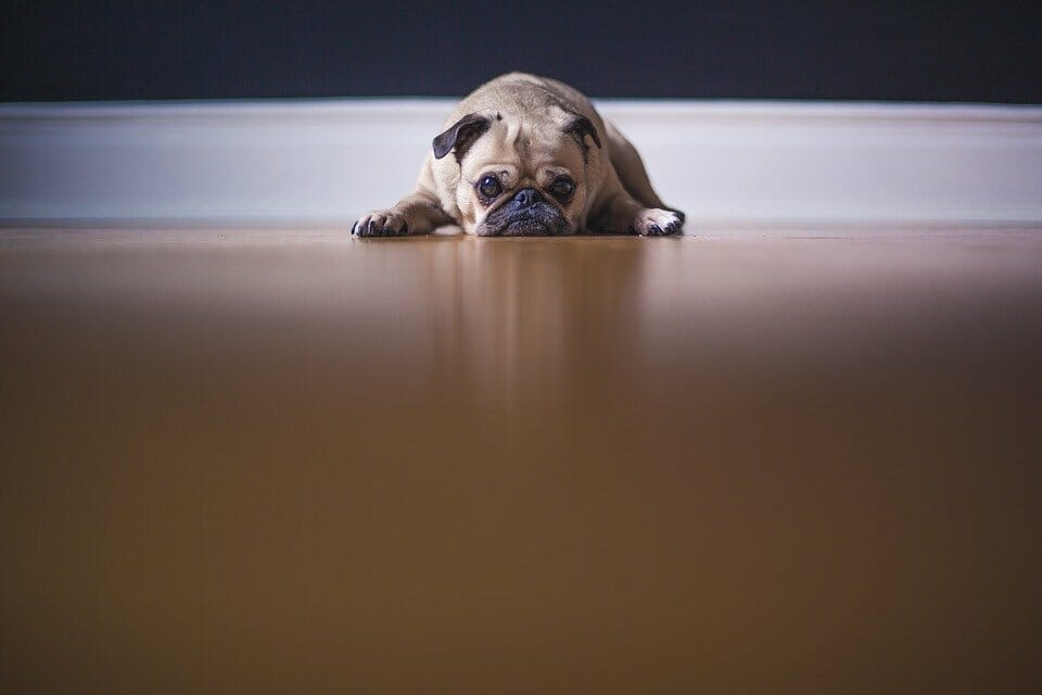Pug dog looking miserable