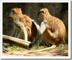 Monkeys scratch each other's back