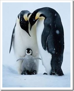 Penguin parents and chick