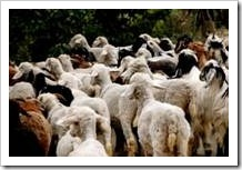 A herd of goats and sheep