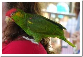 Parrot on a shoulder