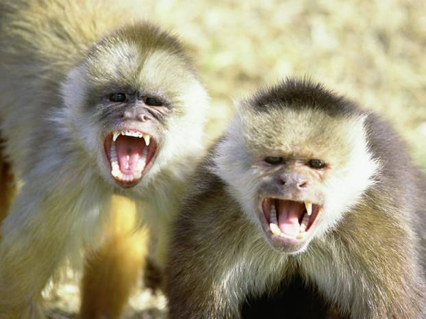 2 monkeys baring their teeth