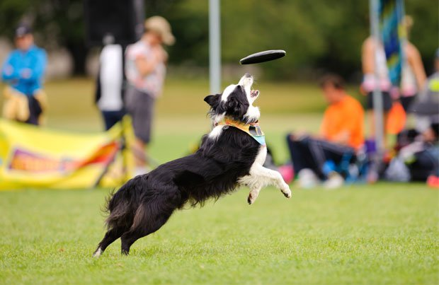 A dog chasing a Frisbee at a part