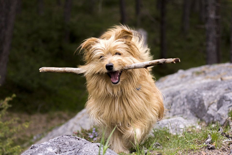 Small dog bringing back a stick