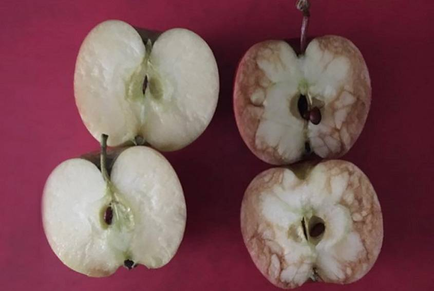 2 apples cut in half. One bruised and one undamaged