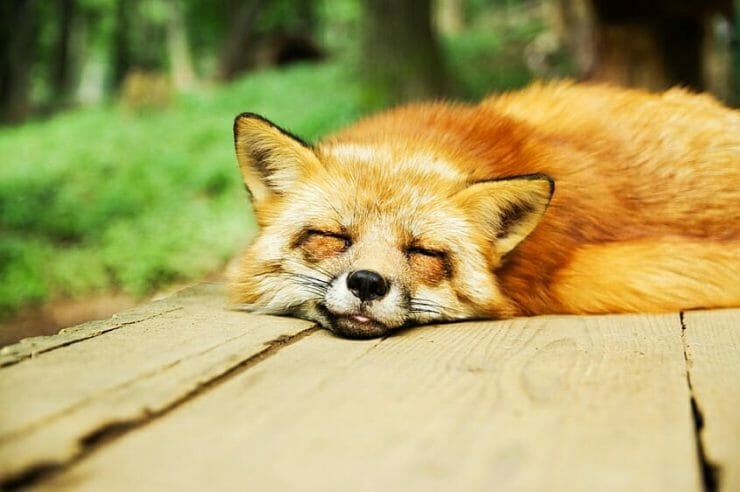 Sleeping fox - such peace of mind