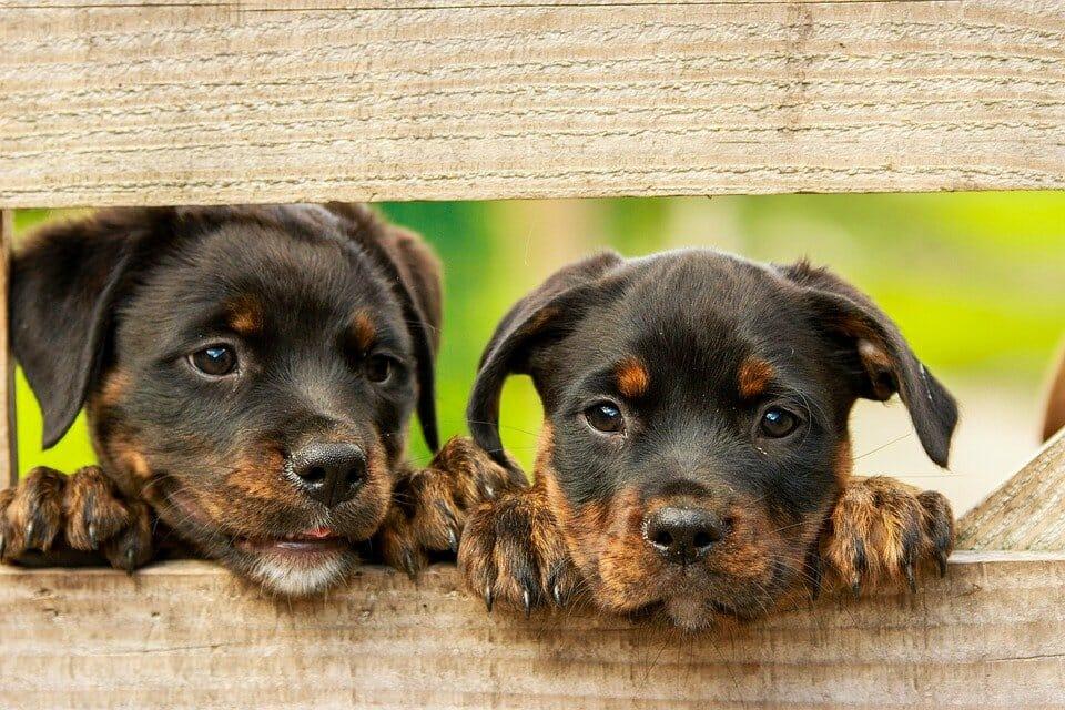 2 puppies peeking through a fence