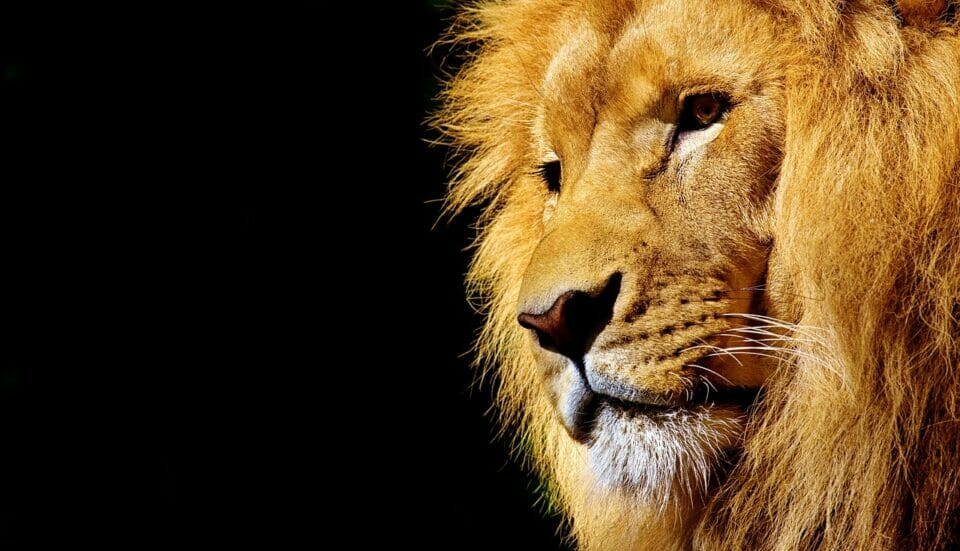 Lion - king of the animals and a symbol of significance